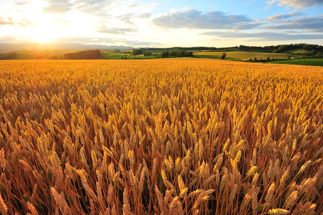 Soybeans, Corn down; Wheat at 4-month lows