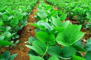 How Low Are Soybean Prices Going?
