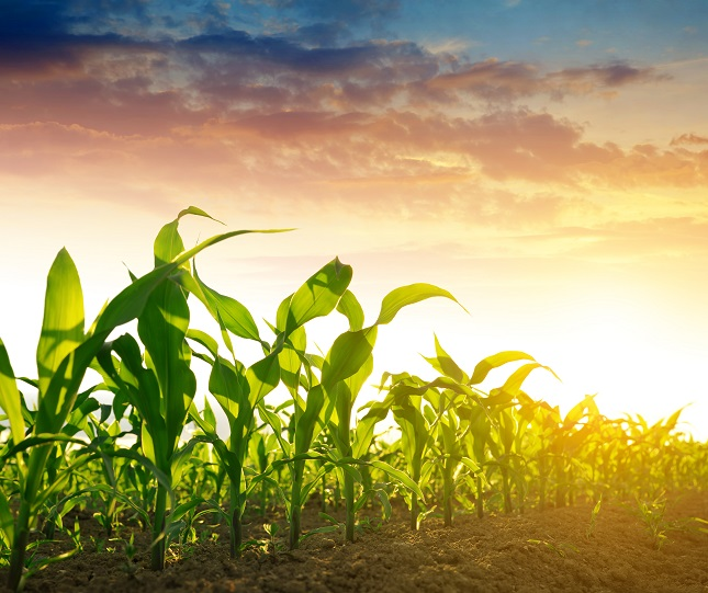 Organic Corn Prices Break Below the $8 Level; Poised to Test 2016 Lows