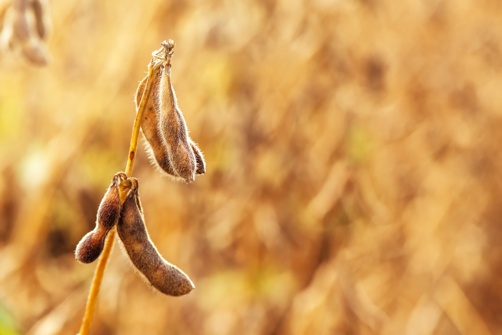 Organic Soybean Prices Could Surge on African Swine Flu Import Ban